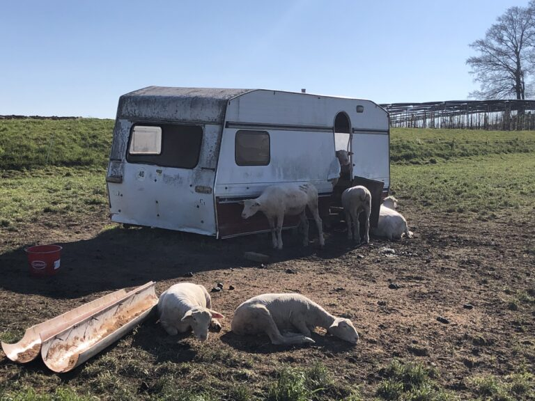 1.4.2020 Schafe geniessen letzte Sonnenstrahlen, Sulgen