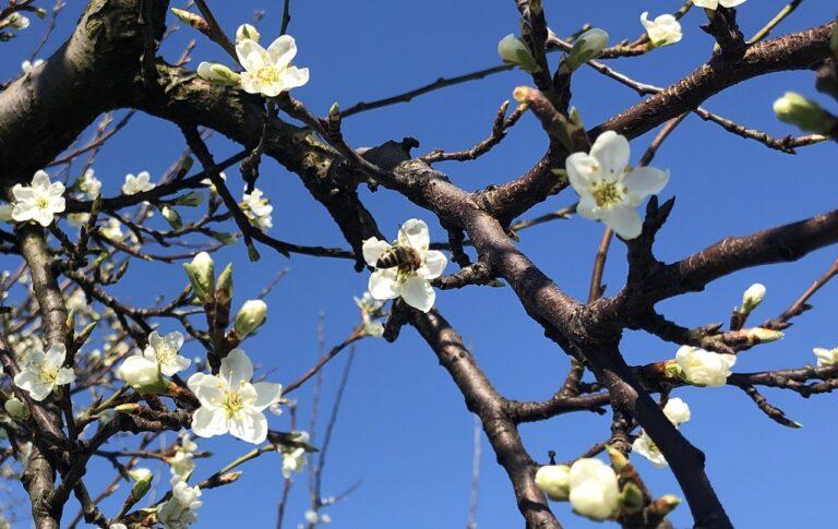 Blüte mit Biene, 5.4.20 Sulgen